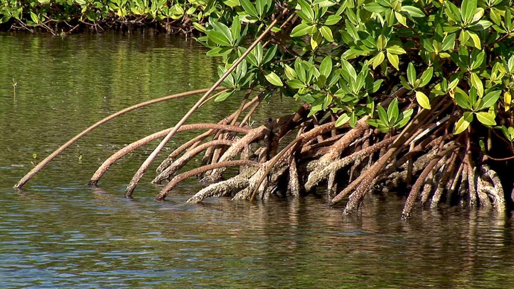 Manglares ubicados en el mar Caribe
