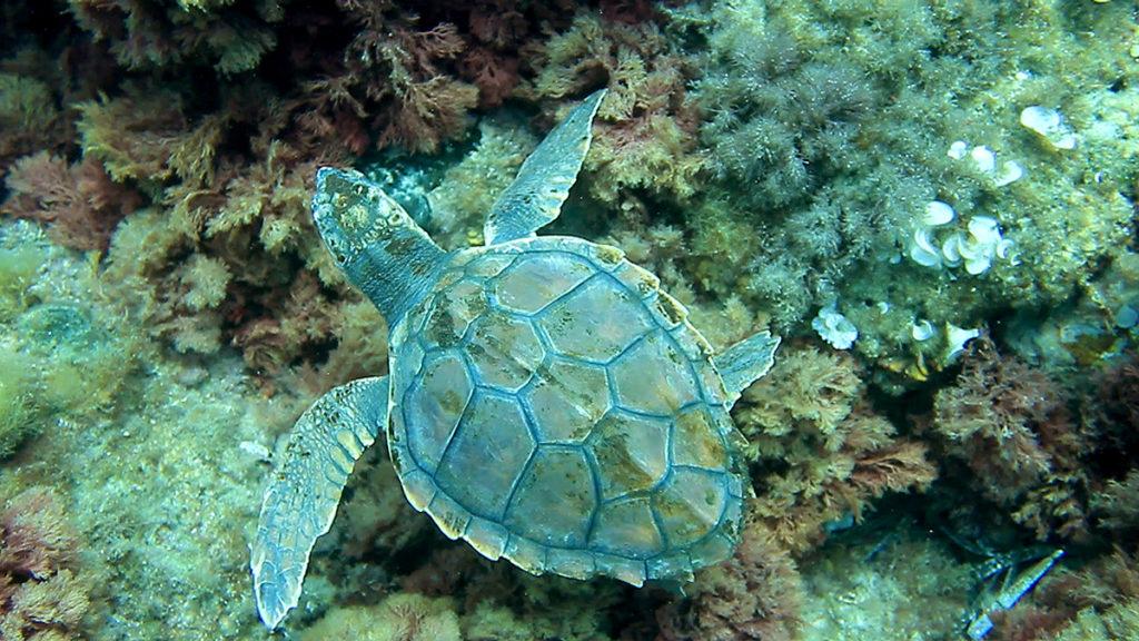 Una tortuga durante un descanso en su viaje migratorio. Las tortugas marinas y el campo magnético terrestre